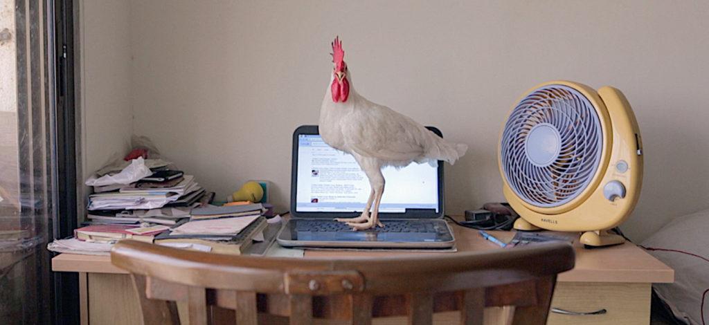 Kana aukinaisella läppärillä / A chicken on a laptop
